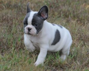 Blue Pied Frenchies